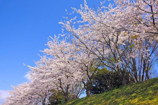 cherry-blossom_00137